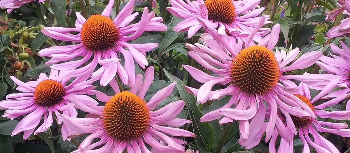 Picture of echinacea (purple coneflower).